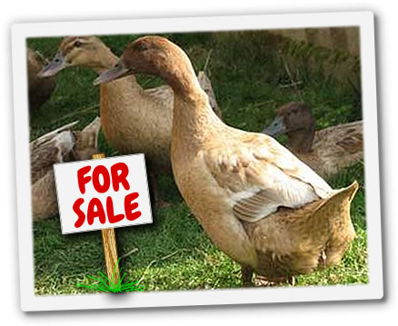 Freerange Ducks for Sale South Birmingham with Chickens of Brum
