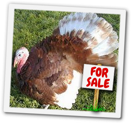 Turkey For Sale >> Freerange Turkeys For Sale South Birmingham With Chickens Of